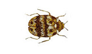 Carpet Beetle