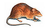 Norway Brown Rat
