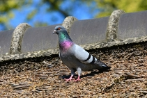 Pigeon Control in Highams Park